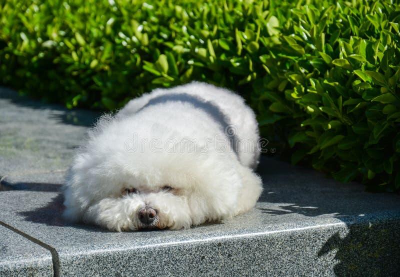 En älskvärd liten vit hund arkivbild