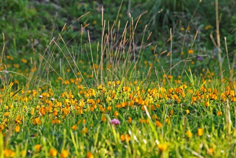 En äng i vår med de gula blommorna royaltyfria bilder