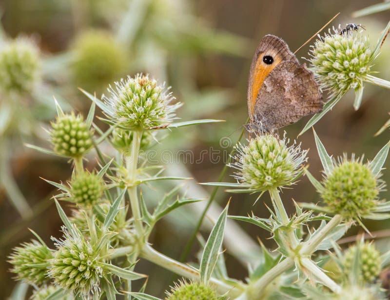 En ängbruntfjäril på tistel arkivfoto