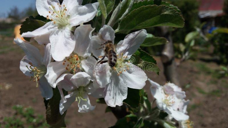 En äppleblomma och ett bi arkivbilder