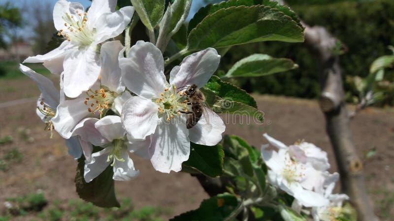 En äppleblomma och ett bi arkivfoton