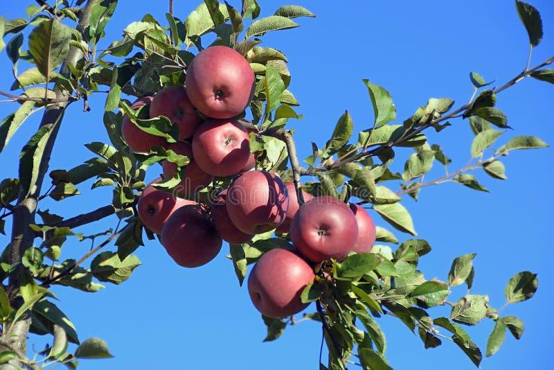 En äppletree arkivbilder