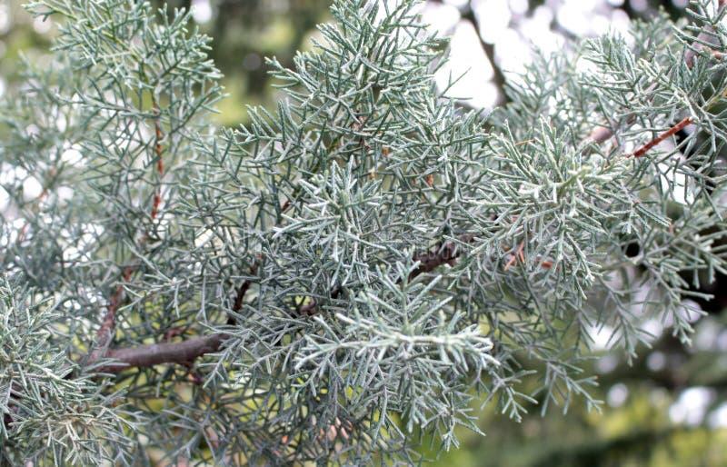 En är barrträds- växter i släktet juniperusen av cupressaceaen för cypressfamiljen royaltyfri fotografi
