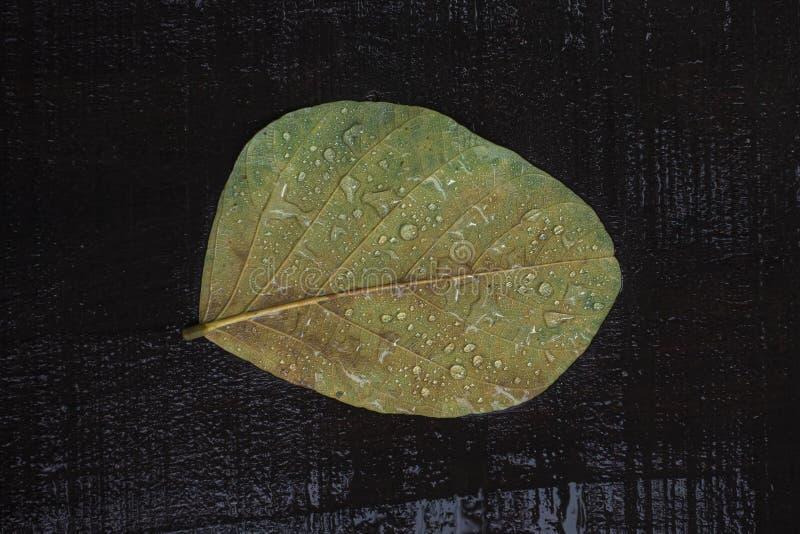 En åldrig leafe med gammal färg- och vattendroppe på svart trä arkivbilder