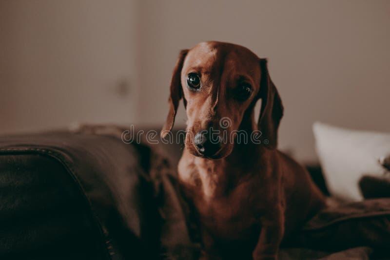 En-år-gammalt släta det bruna taxhundanseendet på en soffa inom en lägenhet som ser i kameran arkivfoton