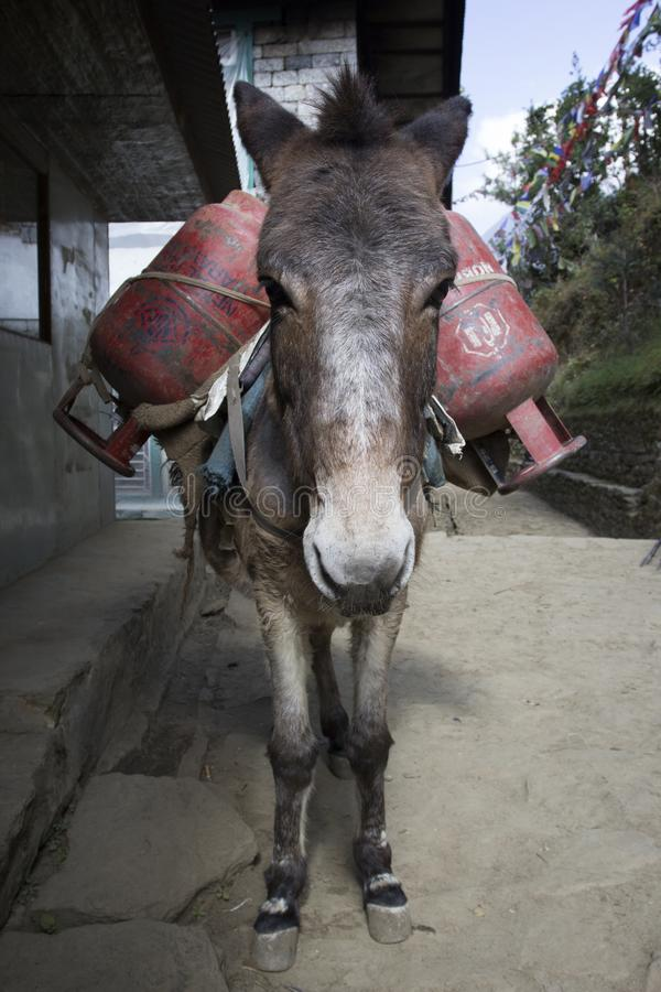 En åsna lastad med gascylindrar Donkey caravans transporterar varor till områden där det inte finns några motorvägar Nepal royaltyfri bild