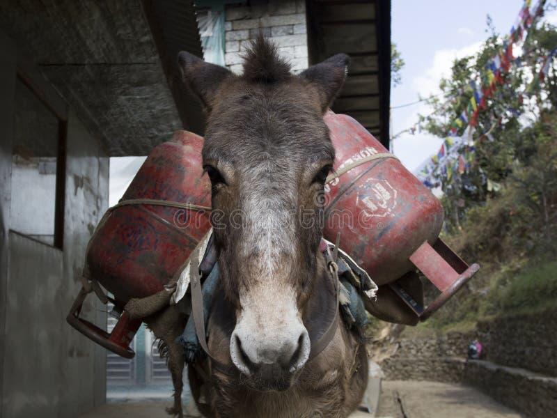 En åsna lastad med gascylindrar Donkey caravans transporterar varor till områden där det inte finns några motorvägar Nepal royaltyfria foton