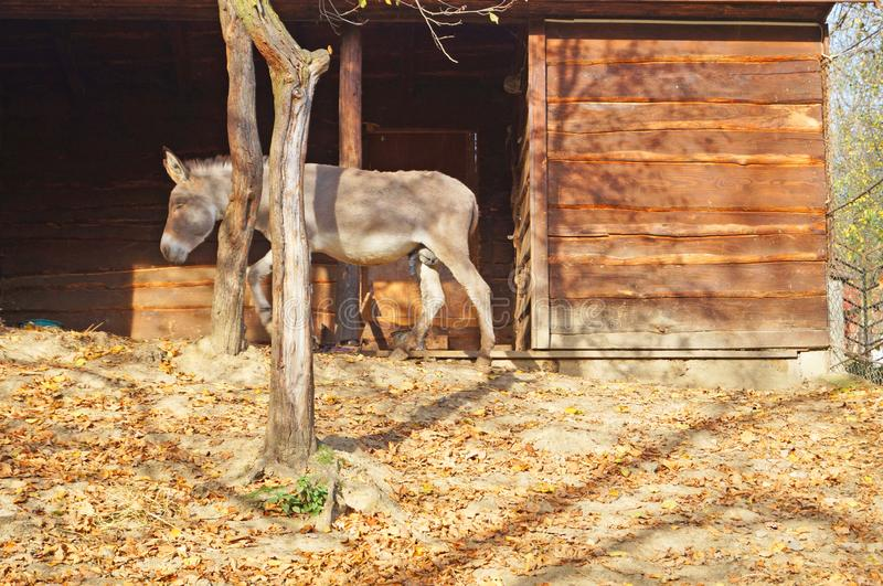 En åsna med gråa pälsställningar nära pennan royaltyfria foton