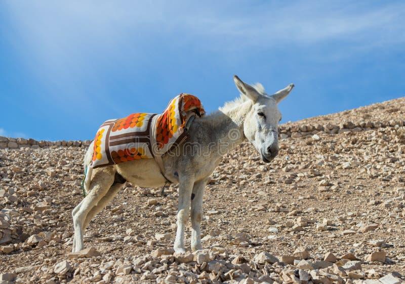 En åsna med en sadel står i solen och de vila och väntande på turisterna på visningplattformen nära Mitzpe Yeriho in I royaltyfria bilder