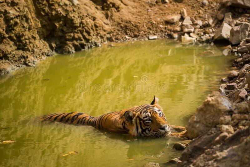 En été chaud au ranthambore un plan rapproché masculin de tigre qu'il refroidissait dans le point d'eau photographie stock