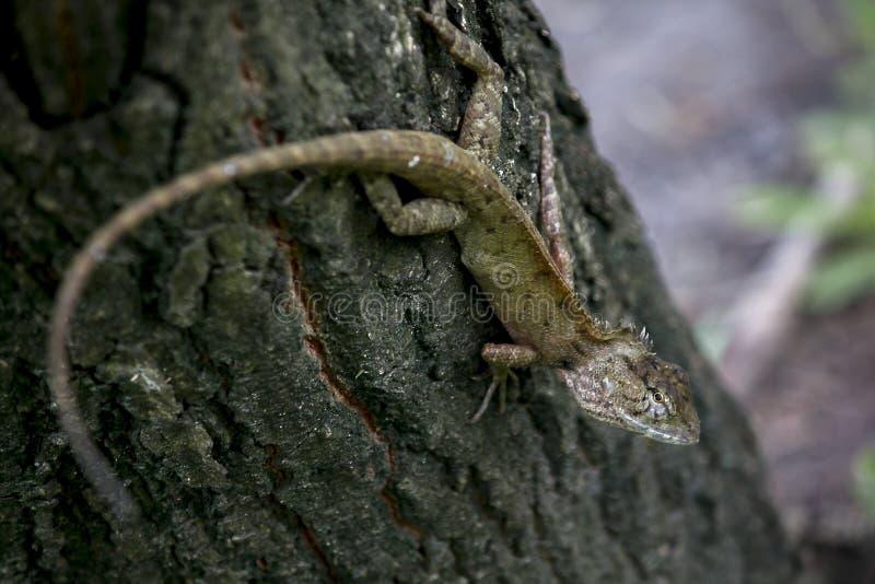 En ödla klättrar på ett träd arkivfoton