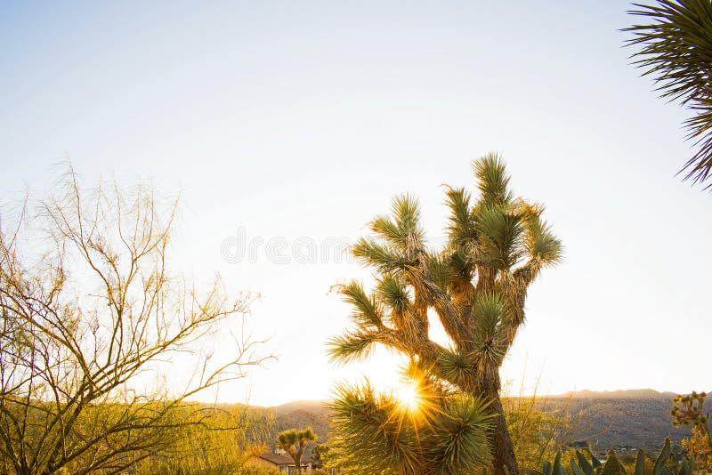 En ökensolnedgång - Joshua Tree royaltyfri fotografi