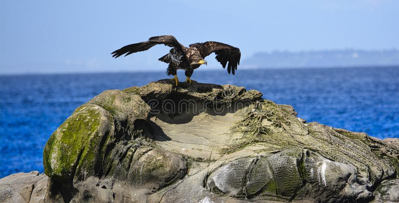 en örn är starten som flyger från vagga royaltyfria foton