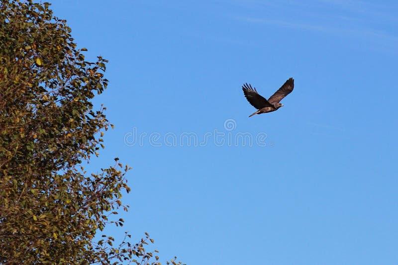 En örn med spridningvingar flyger mot den blåa himlen nära ett träd Flygfågeln är ett symbol av frihet och självständighet jakt fotografering för bildbyråer