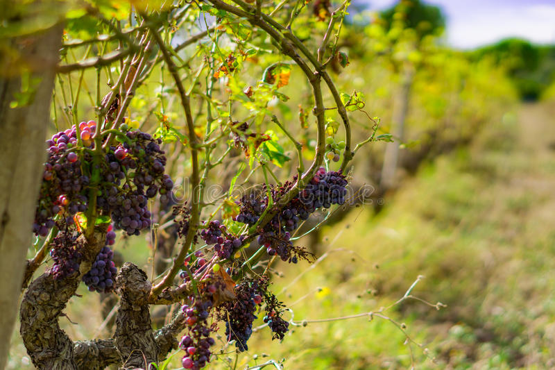 En övergiven vingård royaltyfria foton