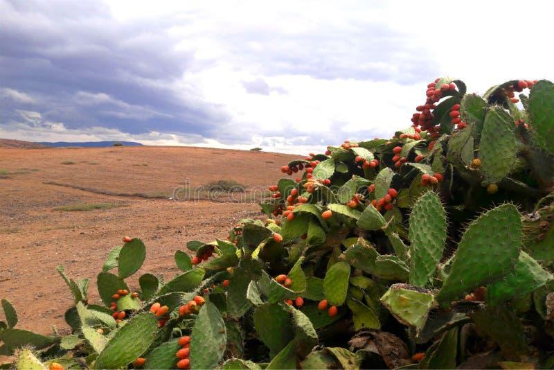 En översikt över prickley-päronen och himlen i utkanten av Oujda i Marocko royaltyfri bild