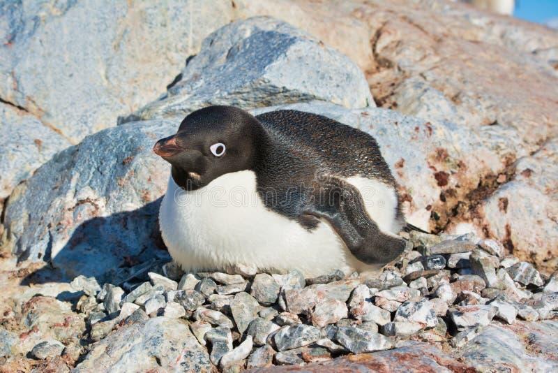 En Adelie pingvin som bygga bo i Antarktis arkivbild