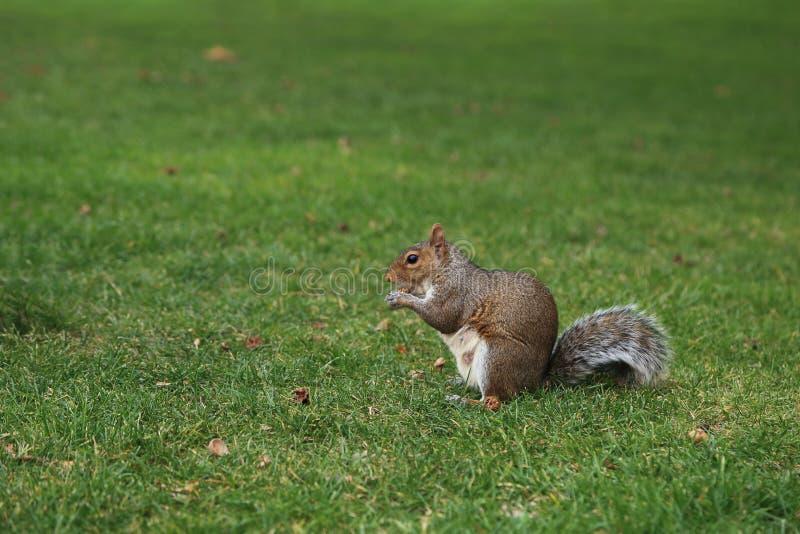 En adorablebrownekorre som äter muttern på gräsmatta för grönt gräs i trädgården royaltyfria foton