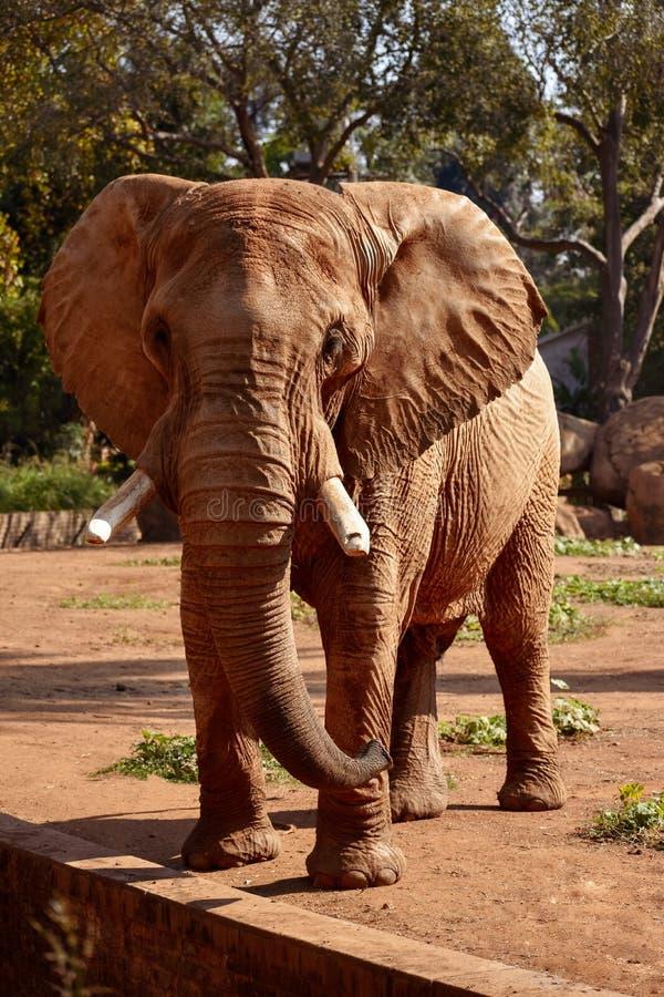 En afrikansk savannahelefant för stor brun tjur fotografering för bildbyråer