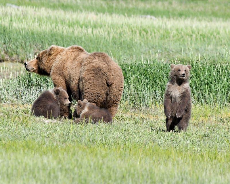 En alaskabo brunbjörnsugga och hennes tre gröngölingar i den Katmai nationalparken royaltyfri bild