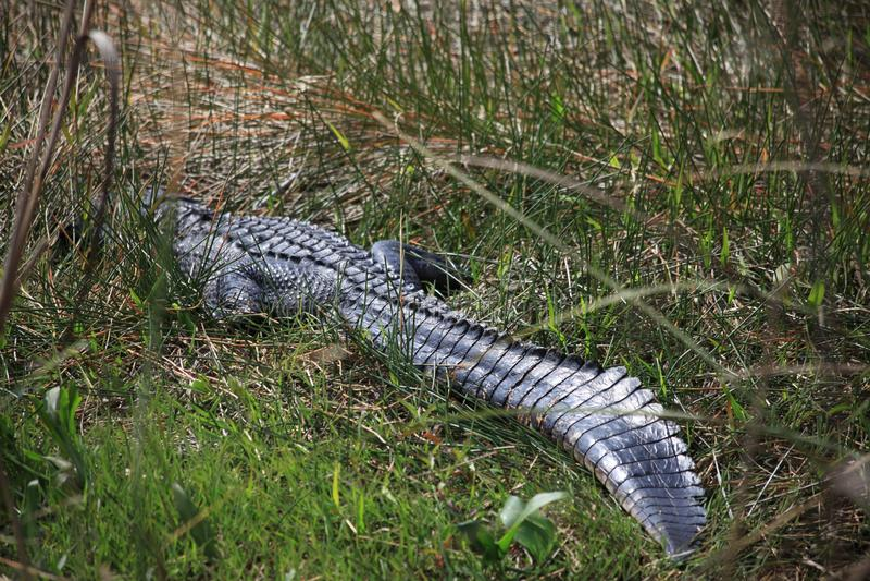 En alligator döljas i skogen arkivfoto