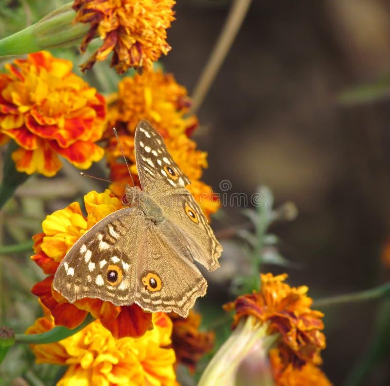 En allmänningbushbrownfjäril på blommor royaltyfria bilder