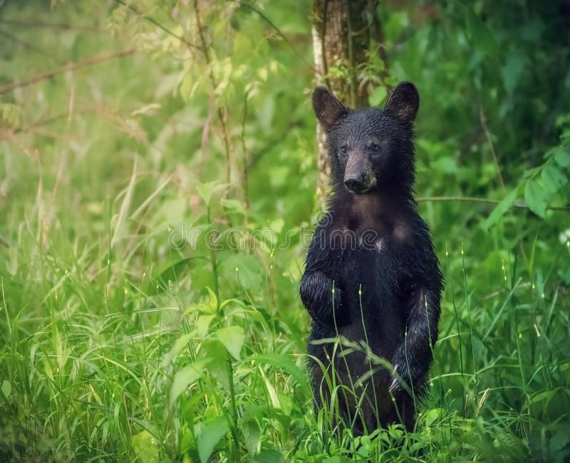 En amerikansk svart björn står och ser turisterna på den Great Smoky Mountains nationalparken arkivbild