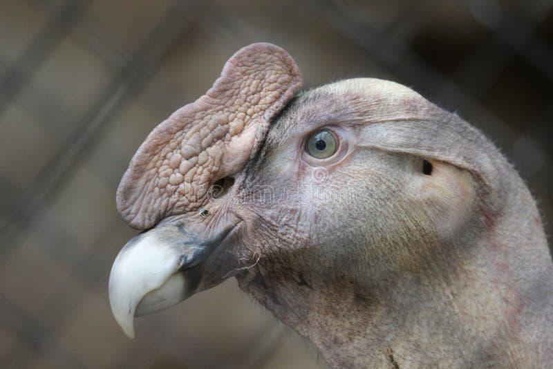en Andean kondor arkivbilder