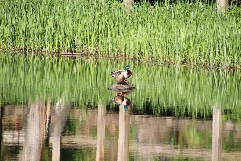 En anka- och hönagräsand duckar sammanträde på en journal I royaltyfri foto