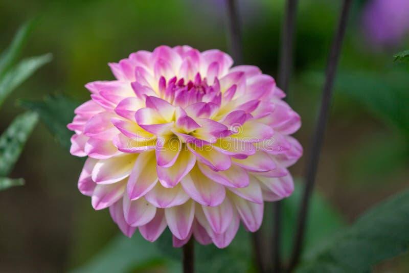 En annan dröm av rosa sommar arkivbilder