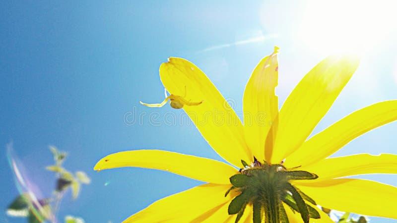 En annan gul svart blomma arkivbild