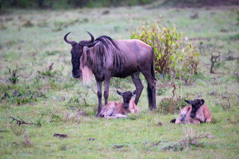 En antilopgnu med liten gnu två behandla som ett barn fotografering för bildbyråer