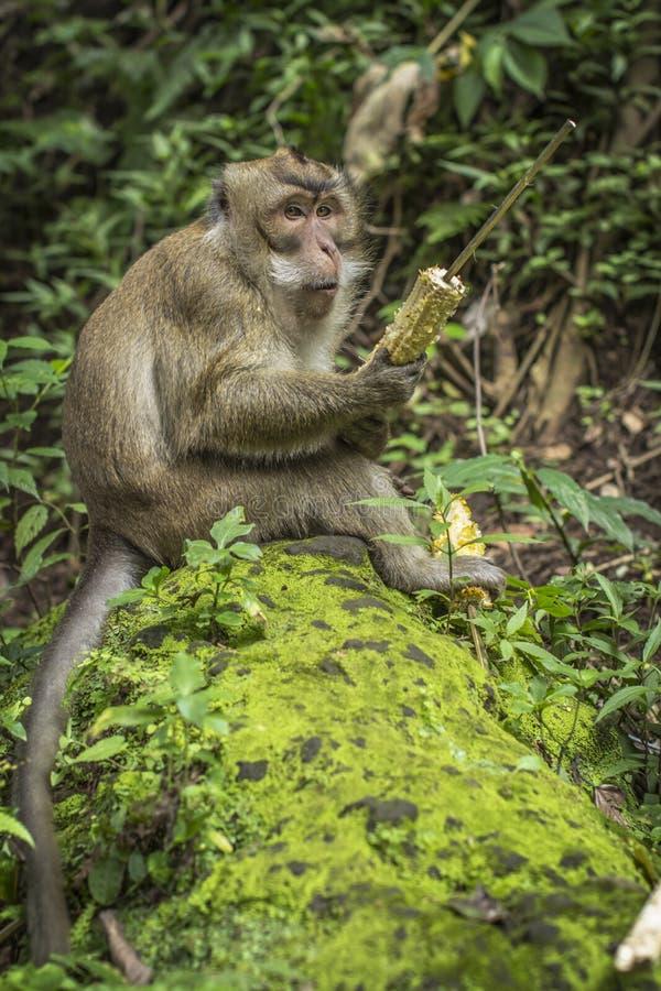En apa hade rester havre från den lokala turisten royaltyfria foton