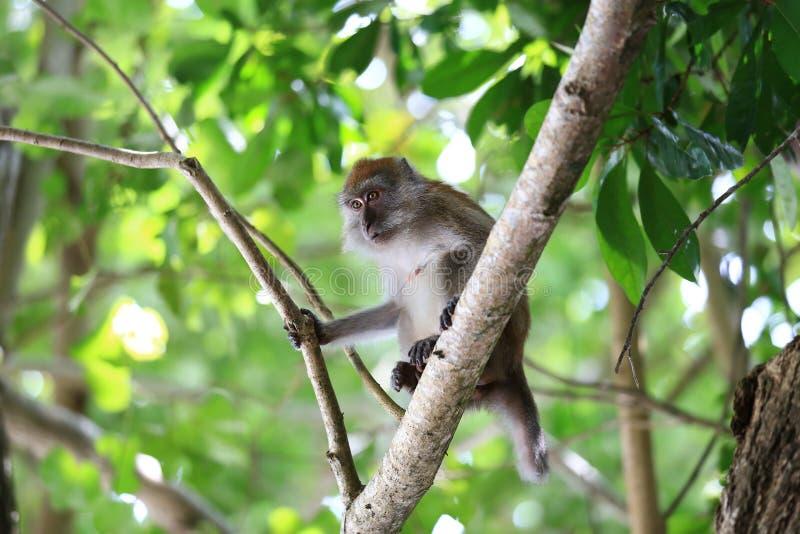 En apa i den naturliga livsmiljön som omkring spelar och som är rörande, Rawi ö, Satun landskap, Thailand royaltyfri foto