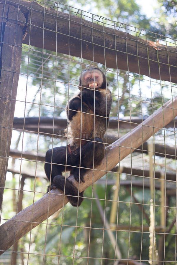 En apa med en banan fotografering för bildbyråer