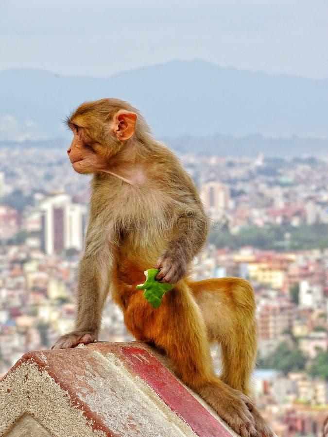 En apa som sitter på en tempelvägg i den Katmandu staden royaltyfri foto