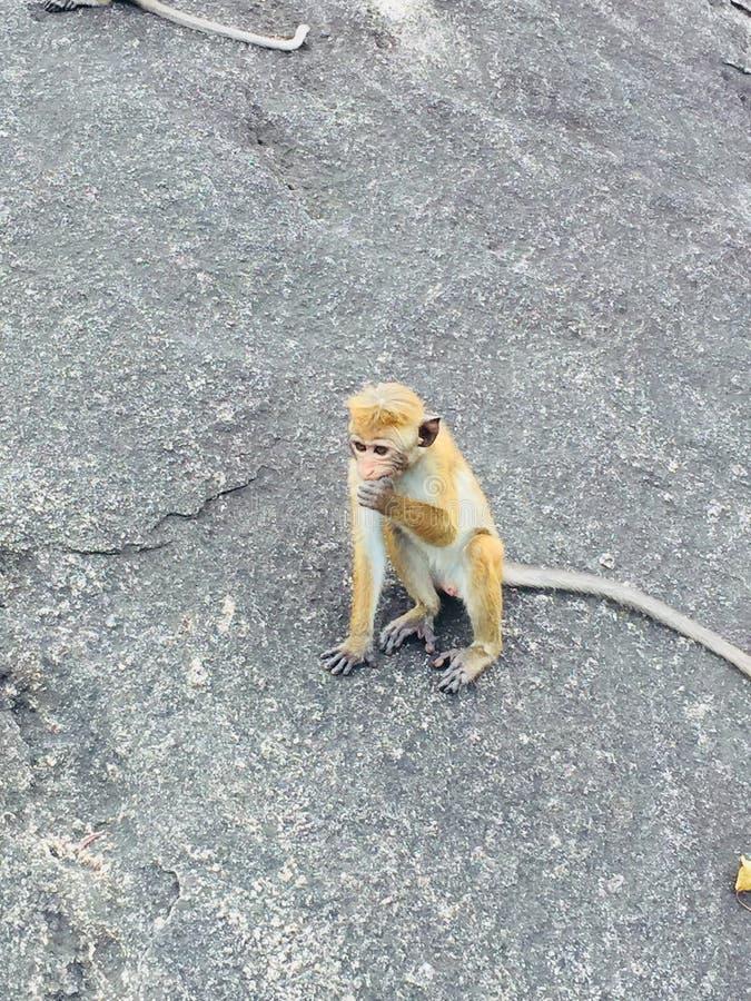 En apa - srilankesisk stil fotografering för bildbyråer