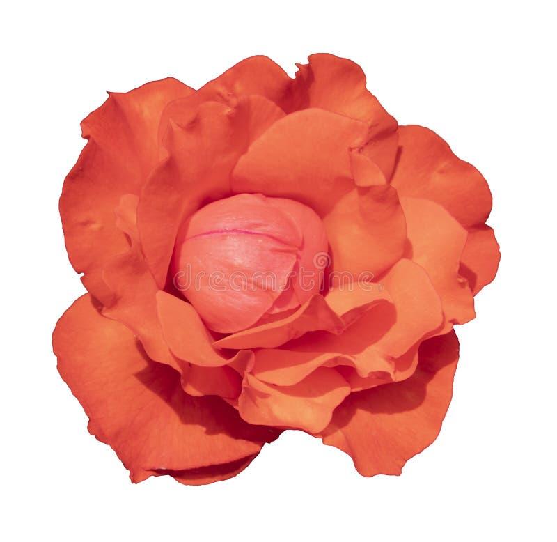 En apelsinrosenröd ros för varaktig passion, entusiasm och längtan arkivbilder