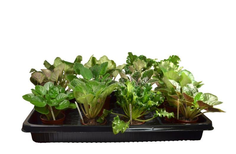 En apparat för att göra bevattna av ett stort antal inomhus växter lättare royaltyfri foto