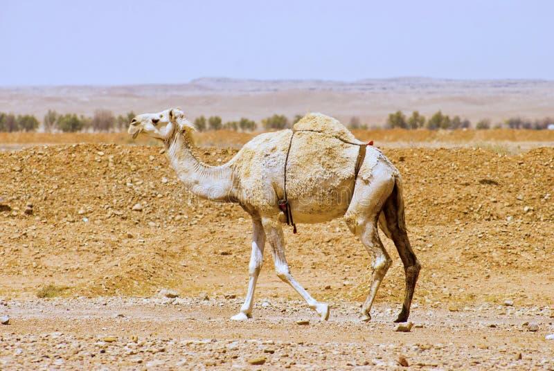 En arabisk eller indisk dromedar kom gå bara öknen arkivfoton