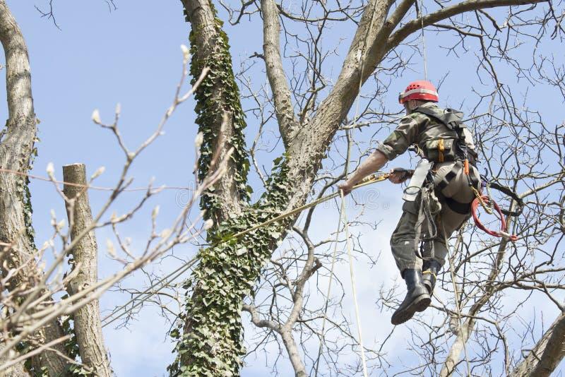 En arborist som använder en chainsaw för att klippa ett valnötträd arkivbilder