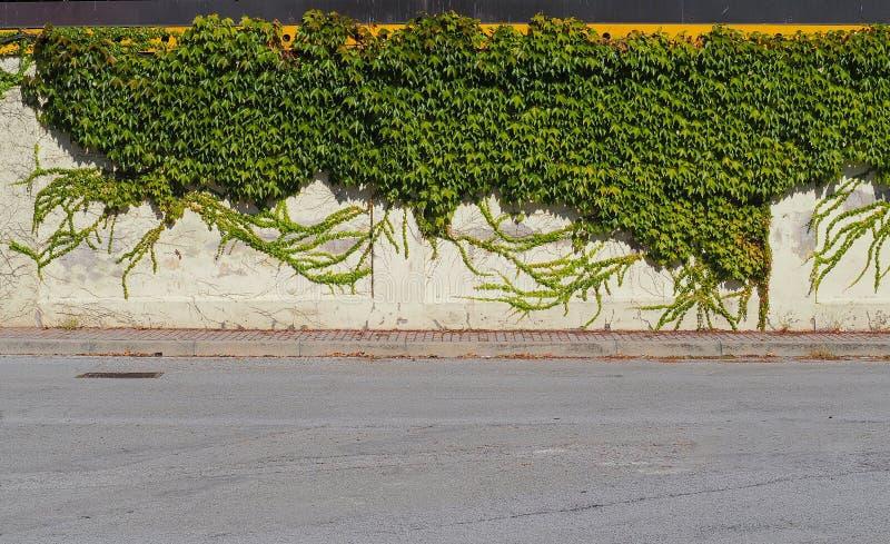 En asfaltväg framme av en gammal vit vägg som täckas av murgröna och en konkret trottoar royaltyfri fotografi