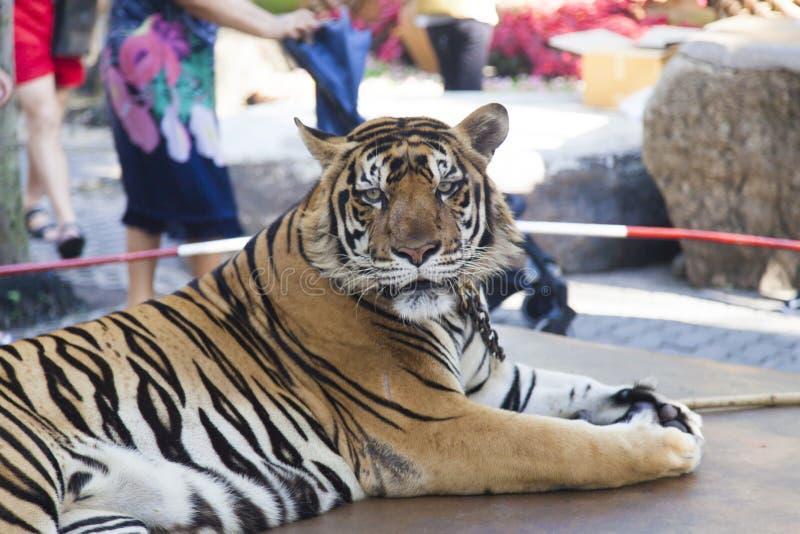 En asservissement de tigre photo stock