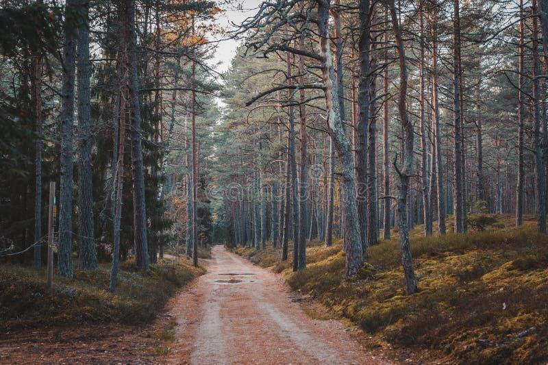 En augmentant le chemin dans une forêt de pin obscurcissez le paysage d'automne image stock