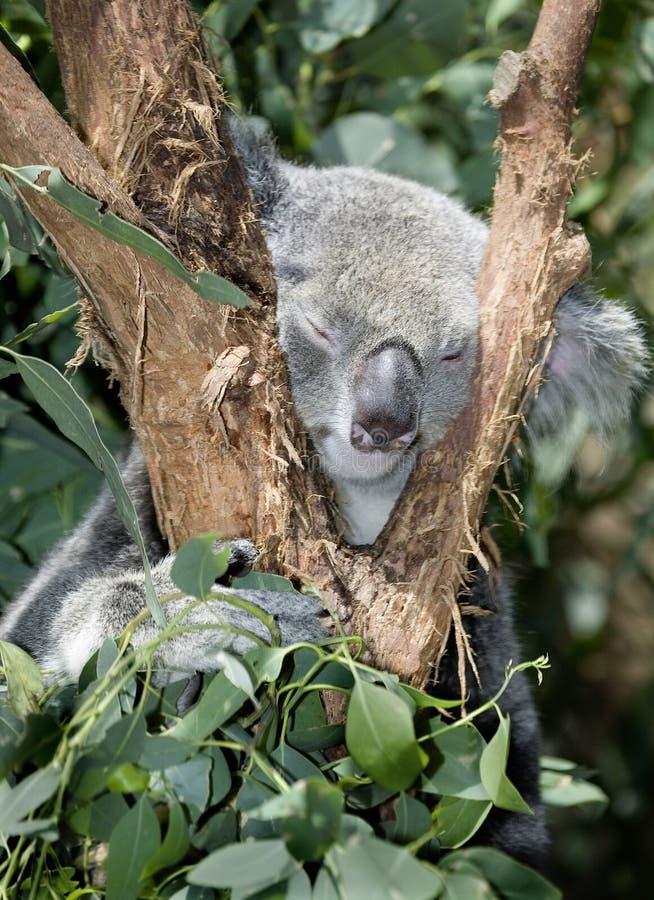 En Australia, la koala en el árbol, cómo innocent imagenes de archivo