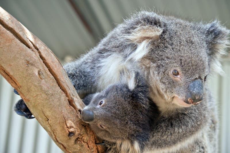 En australisk koala royaltyfria bilder