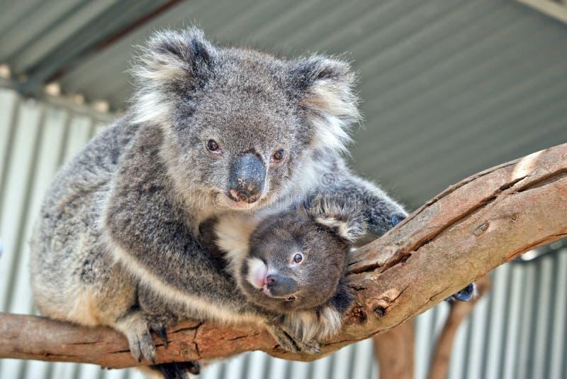 En australisk koala royaltyfri foto