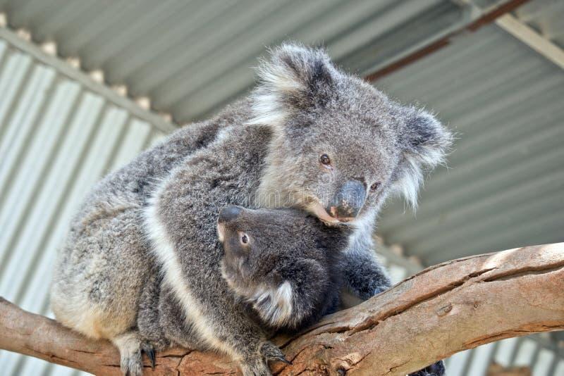 En australisk koala fotografering för bildbyråer