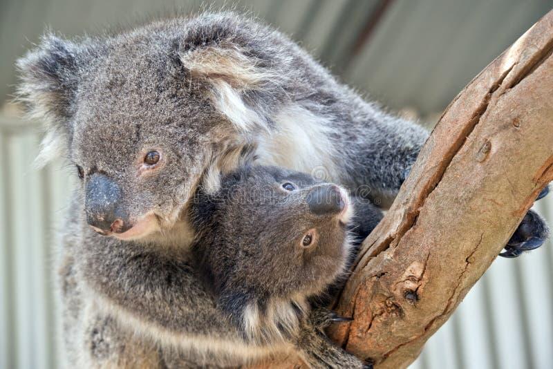 En australisk koala arkivfoto