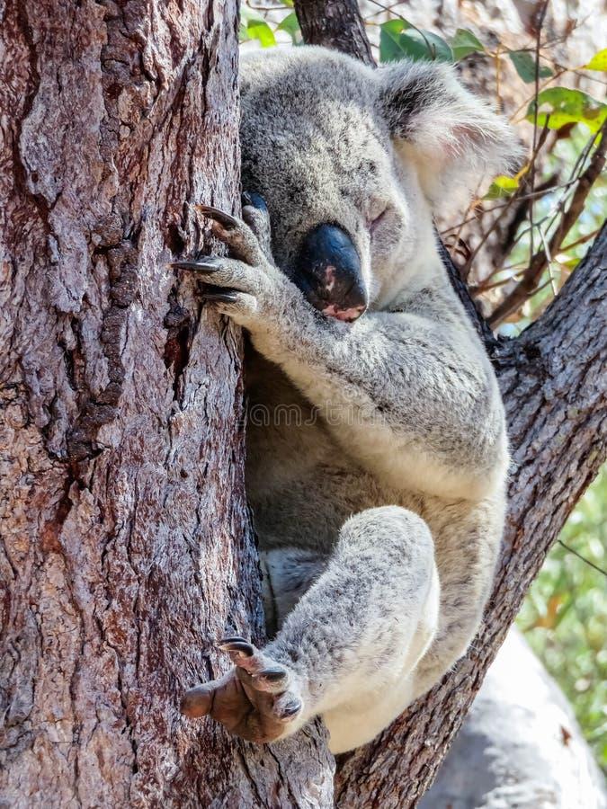 En australisk lös koala som sover i eukalyptus eller eukalyptusträd Magnetisk ö, Australien royaltyfria bilder